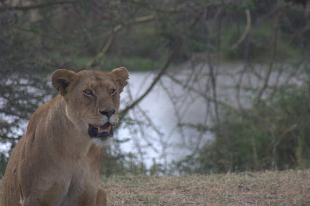 Tanzania-SerenguetiLeonaLago