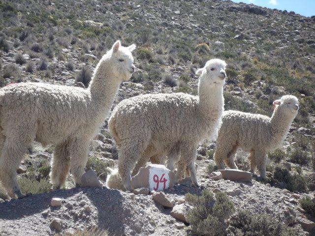 Patapampa-Alpacas