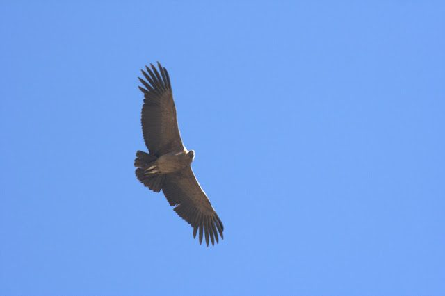 ValleColca-Condor