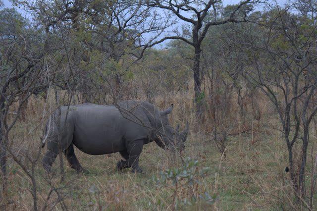 Kruger-Rinoceronte