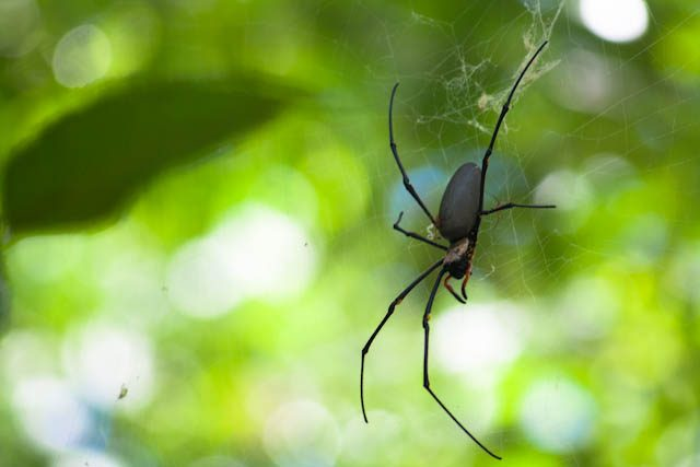 Australia-Daintree-Araña