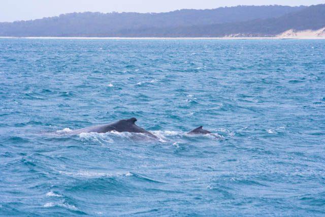 Australia-Hervey Bay Ballenas