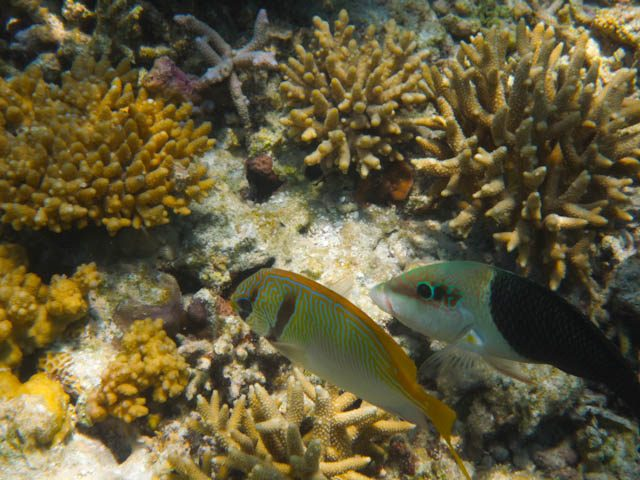 Australia-Lady Musgrave Island Peces Corales