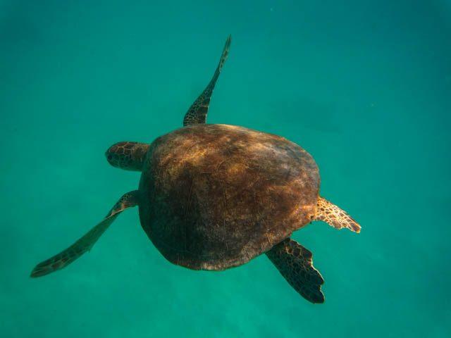Australia-Lady Musgrave Island Tortuga