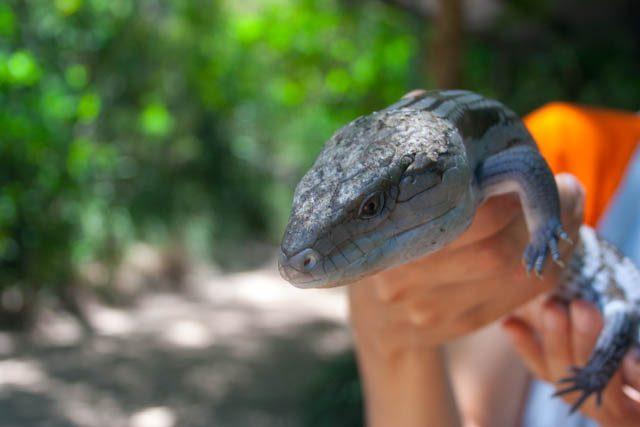 Australia-MagneticI sland Iguana