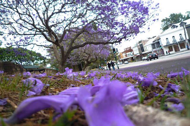 Australia-Sidney Paddington Jacarandas