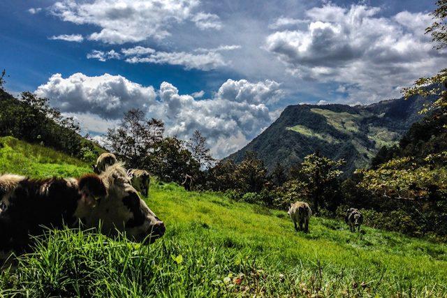 Salento Valle de Cocora Vacas