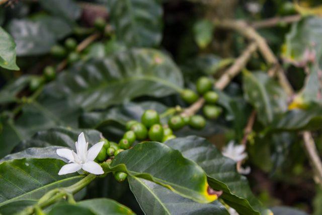 Valle Del Cauca Bosque Del Saman Plantacion Flor Cafe