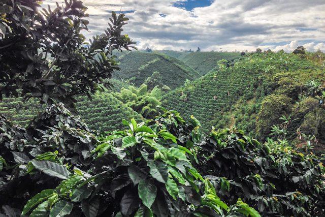 Valle Del Cauca Bosque Del Saman Plantacion Montaña