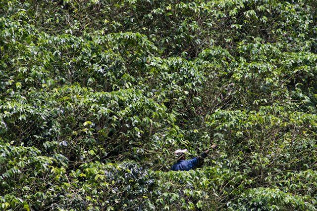 Valle Del Cauca Bosque Del Saman Plantacion Recoleccion