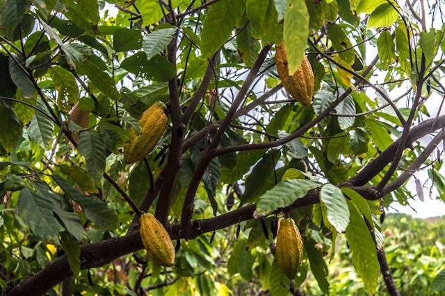 Cacao Ruta Cacao Mazorca Nacional Arriba