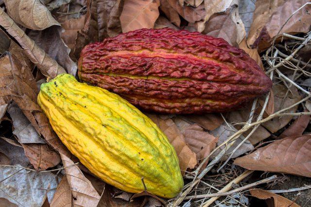 Cacao Ruta Cacao Mazorca Nacional Arriba Don Homero CCN51