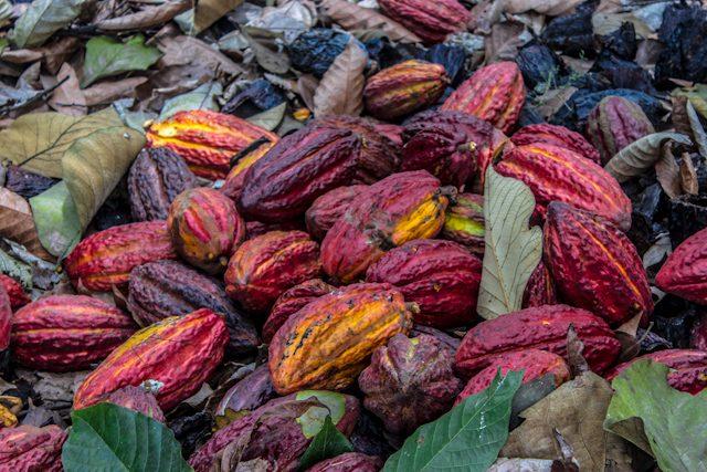 Guayas Ruta Cacao Hacienda Cañas Mazorcas