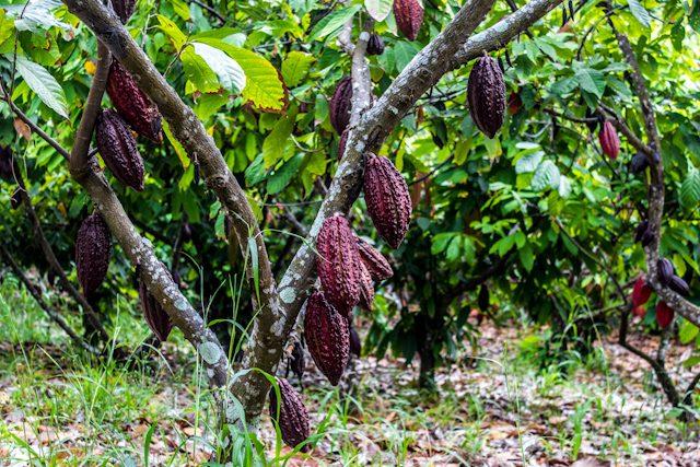 Guayas Ruta Cacao Hacienda Cañas Plantacion