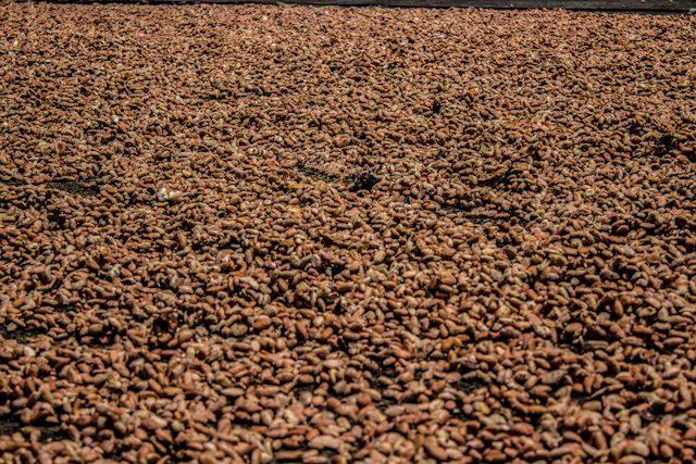 Guayas Ruta Cacao Hacienda Cañas Secado Granos