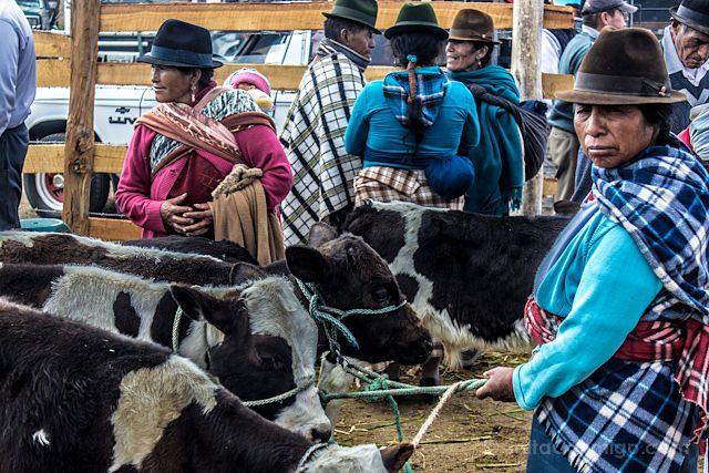 Quito Saquisilí Mercado Ganado