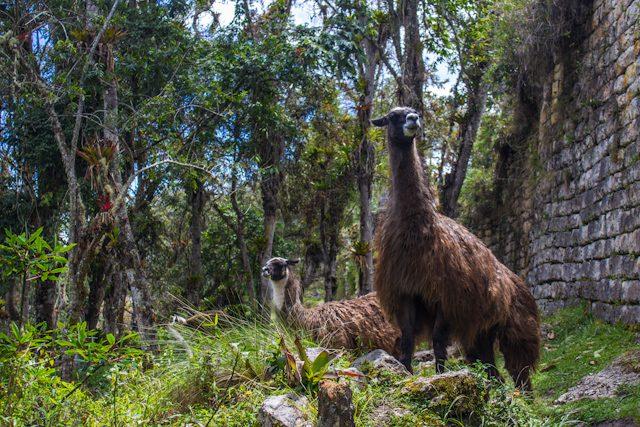 Chachapoyas Fortaleza Kuelap Llamas
