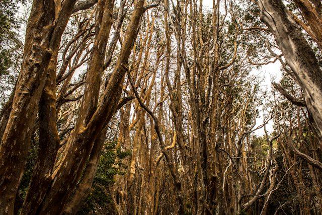 Bariloche Bosque Arrayanes