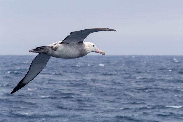 Antartida Albatros