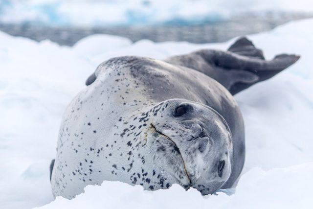 Antartida Foca Leopardo