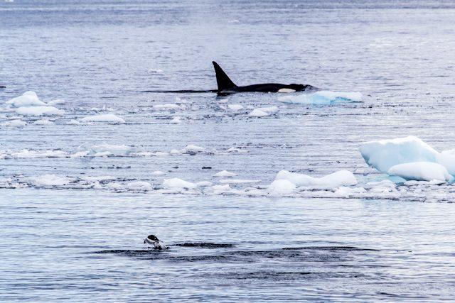 Antartida Orca Pinguino