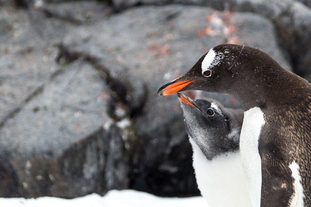 Antartida Pinguino Cria