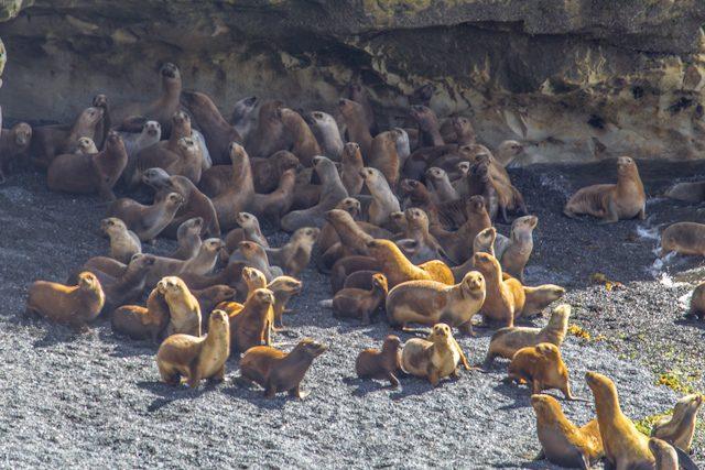 Argentina Puerto Madryn Manada Lobos Marinos Golfo Nuevo