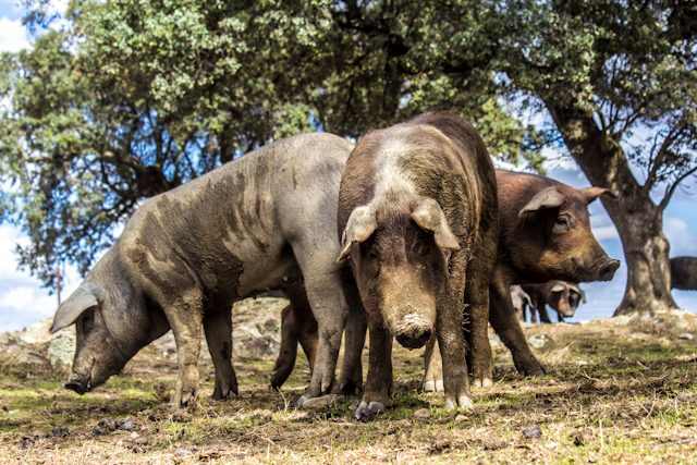 Tajo Internacional Piara Cerdo Iberico Pata Negra