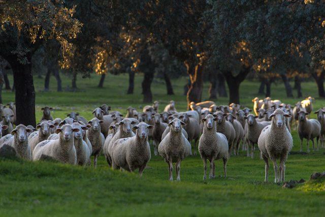 Extremadura Dehesa Ganatur Ovejas