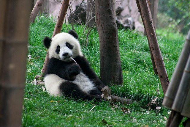 China Chengdu Centro Osos Panda Cria