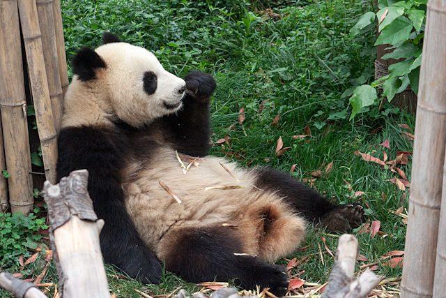 China Chengdu Centro Osos Panda Descansa