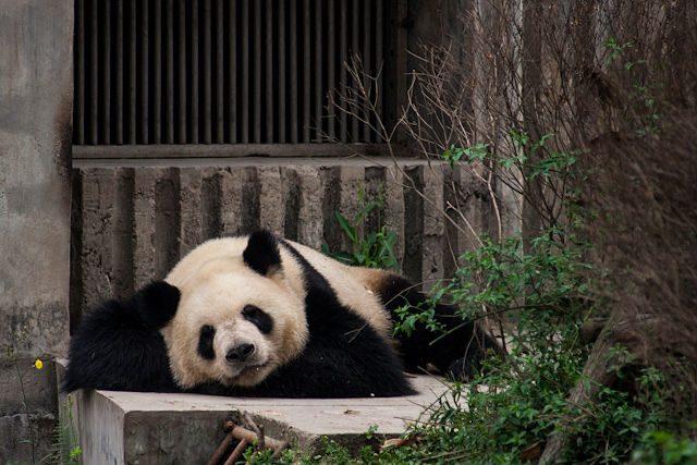 China Chengdu Centro Osos Panda Durmiendo