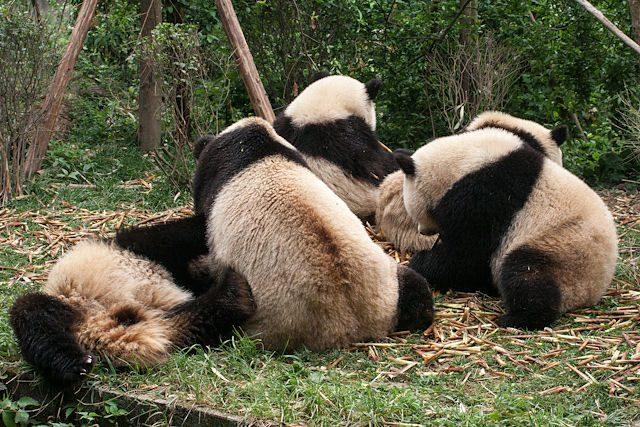 China Chengdu Centro Osos Panda Grupo
