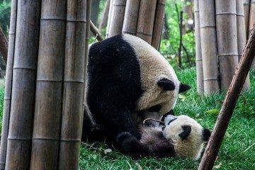China Chengdu Centro Osos Panda Madre Cria