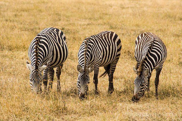 Tanzania Ngorongoro Cebras