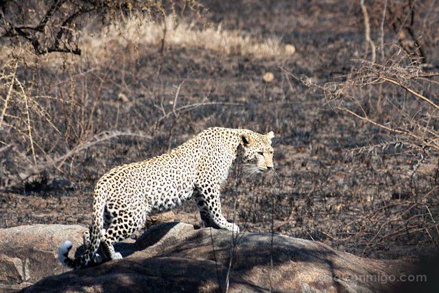 Tanzania Ngorongoro Leopardo