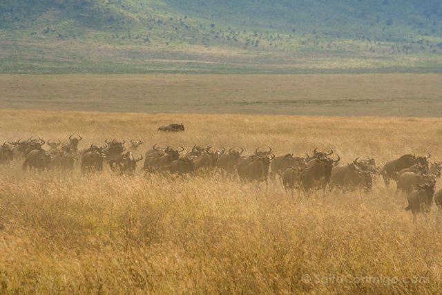 Tanzania Ngorongoro Manada Ñues