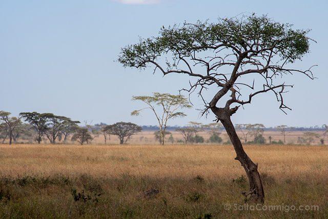 Tanzania Serengueti Acacia