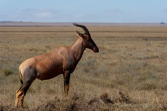 Tanzania Serengueti Antilope