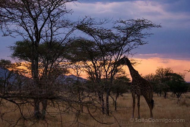 Tanzania Serengueti Jirafa Puesta Sol