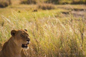 Tanzania Serengueti Leona