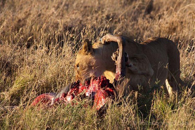 Tanzania Serengueti Leona Comiendo