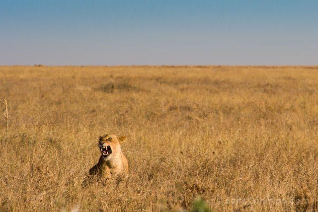 Tanzania Serengueti Leona Rugido