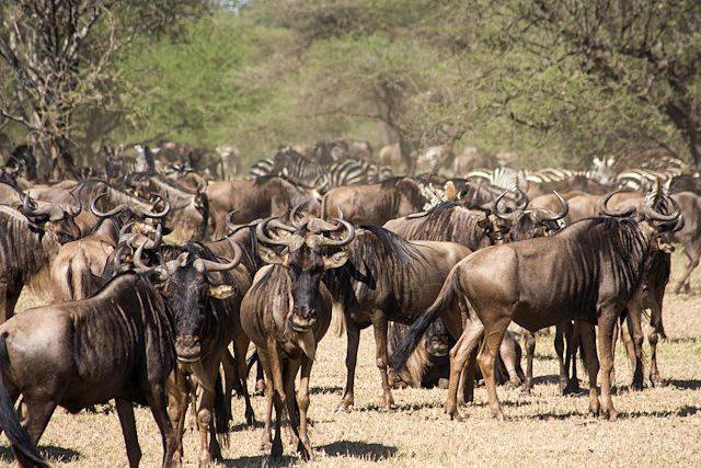 Tanzania Serengueti Ñues