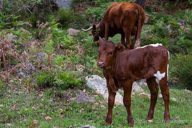 Cadiz Tarifa Parque Natural Alcornocales Laurisilva Vacas