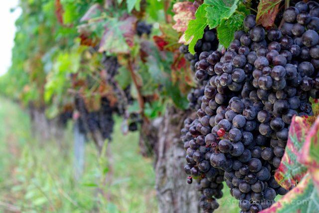 Francia Aquitania Uvas Vinedos
