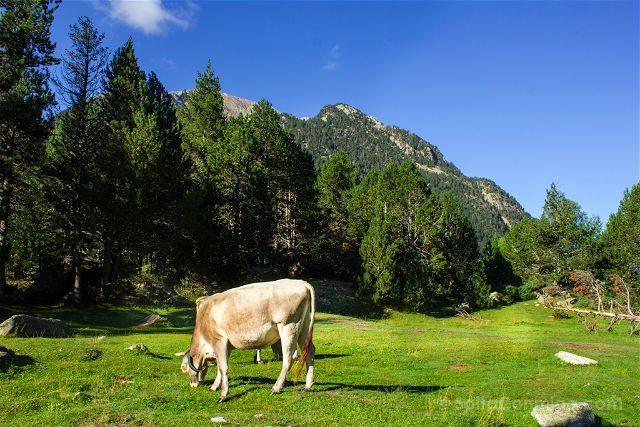 Lleida Parque Nacional Aiguestortes Vaca