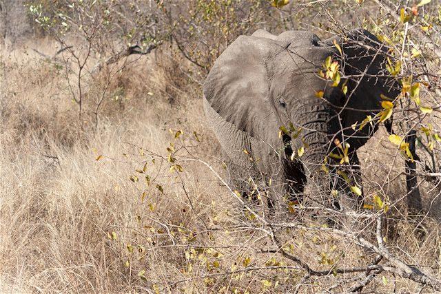 Sudafrica Kruger Elefante