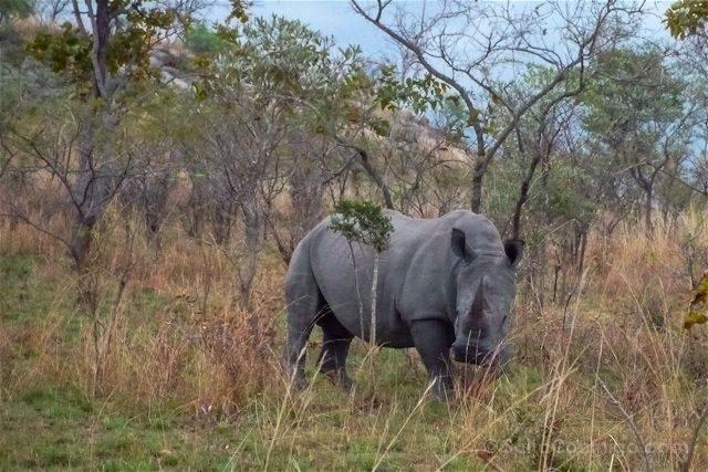 Sudafrica Kruger Rinoceronte