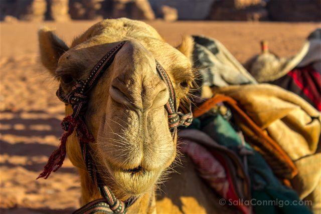 Jordania Desierto Rojo Wadi Rum Dromedario